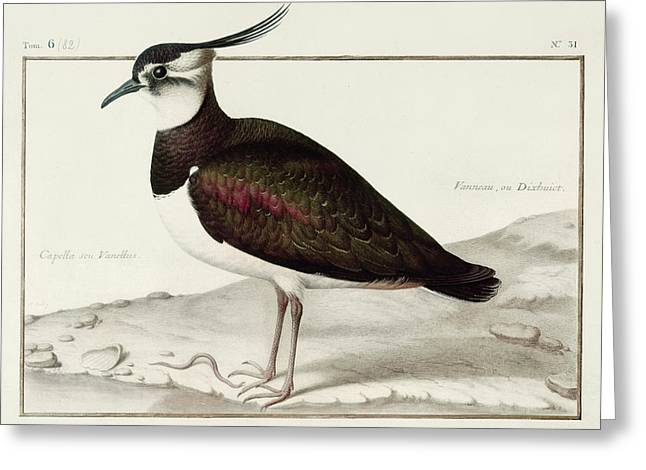 Texting Drawings Greeting Cards - A Lapwing Greeting Card by Nicolas Robert