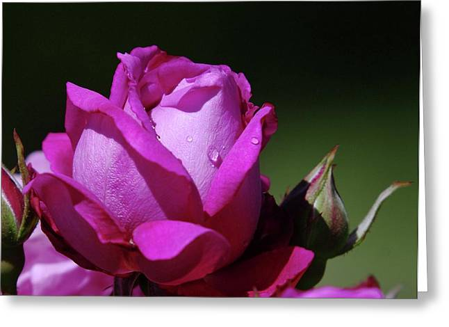 Wet Rose Greeting Cards - A Light Blue Rose  Greeting Card by Jeff  Swan
