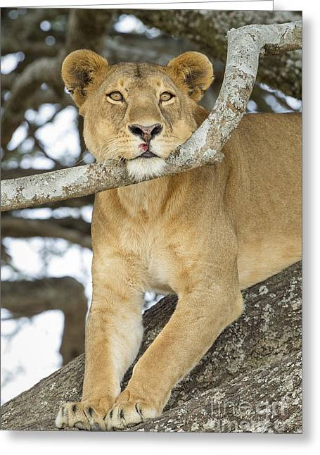 Pause Greeting Cards - A Lions Pause Greeting Card by John Blumenkamp