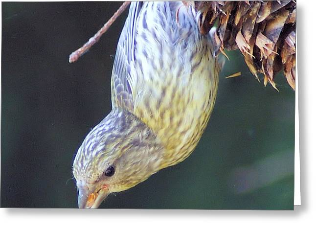 A LITTLE BIRD EATING PINE CONE SEEDS  Greeting Card by Jeff  Swan