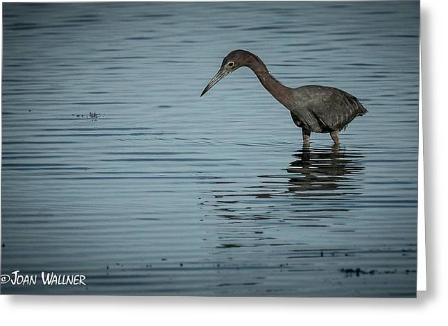 Englewood Greeting Cards - A Little Blue Heron Fishing Greeting Card by Joan Wallner