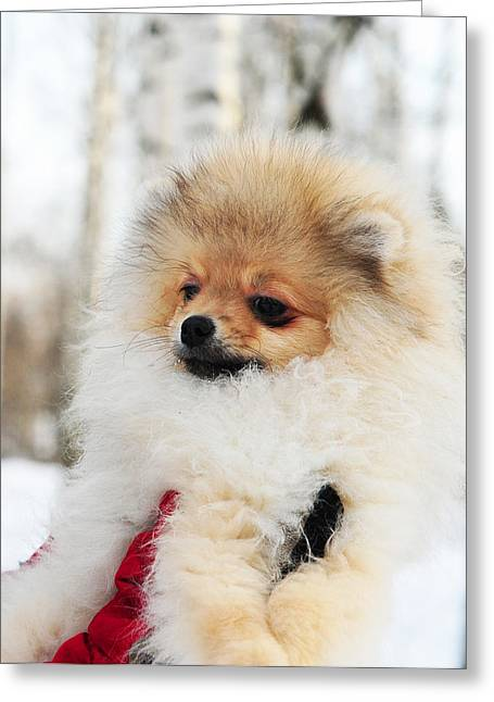 White Thick Fur Greeting Cards - A Little Cutie I Greeting Card by Jenny Rainbow
