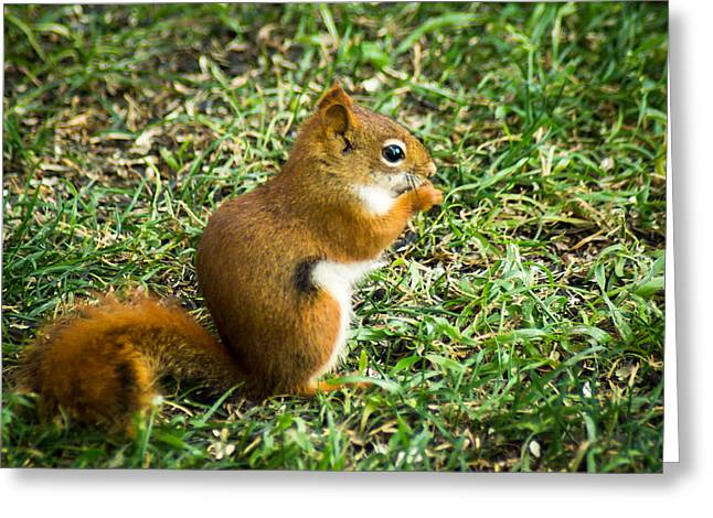 Bushy Tail Greeting Cards - A Little Squirrelly Greeting Card by Bill Pevlor
