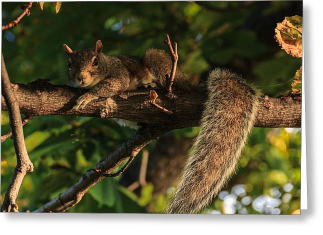 Rodents Greeting Cards - A look of indignation Greeting Card by Chris Fletcher