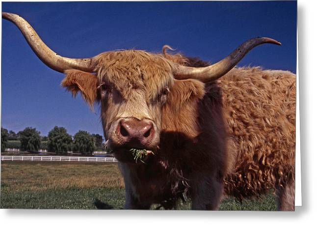 A LOT A BULL Greeting Card by Skip Willits