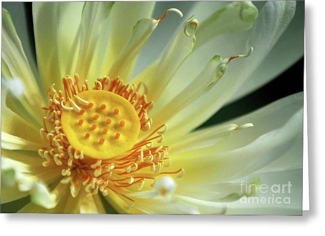 Florida Pond Greeting Cards - A Lotus Close Up Greeting Card by Sabrina L Ryan