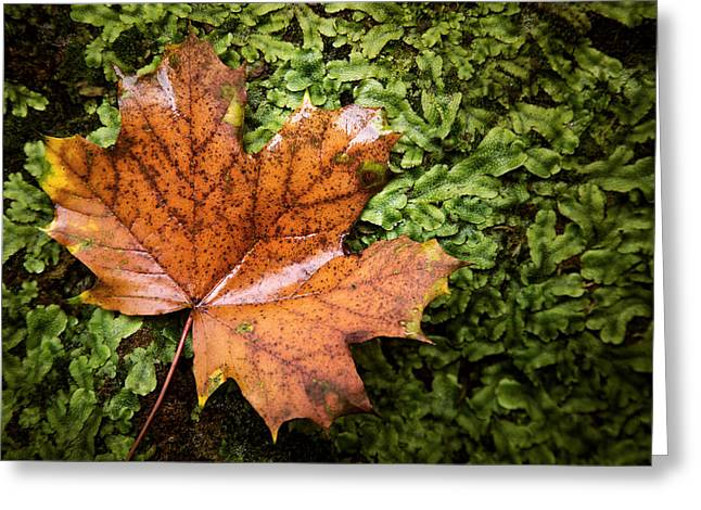 Moss Green Greeting Cards - A Maple Among Moss Greeting Card by Jason Shaffer