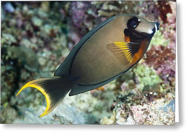 Mimic Greeting Cards - A Mimic Or Chocolate Surgeonfish Greeting Card by Matthew Oldfield