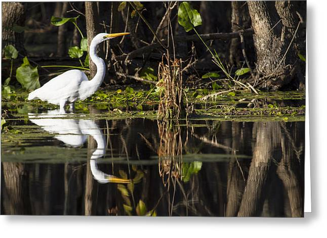 White Bird Greeting Cards - A mirrored world of a Great Egret Greeting Card by Ellie Teramoto
