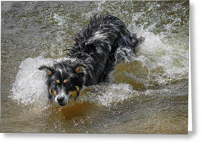 A Mixed Breed Dog Splashes In A Lake Greeting Card by Al Petteway & Amy White
