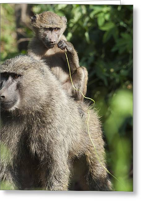 Love Game Greeting Cards - A Monkey And Its Baby Sitting On Her Greeting Card by Diane Levit