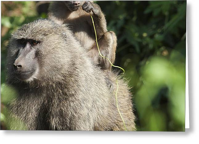A Monkey And Its Baby Sitting On Her Greeting Card by Diane Levit