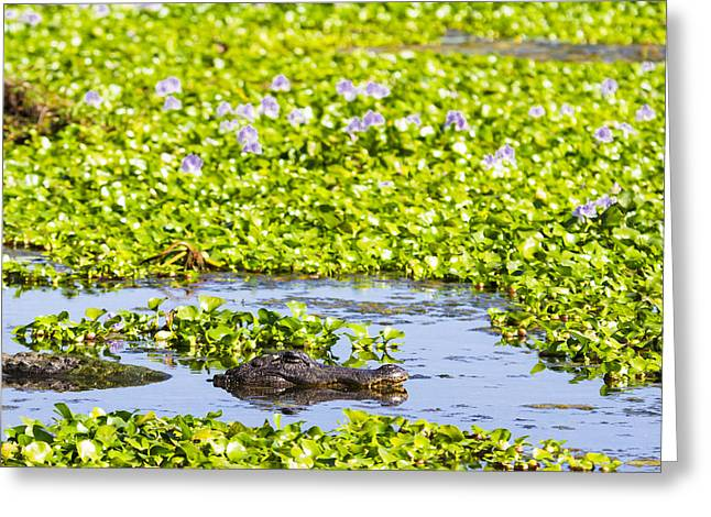 Swamp Greeting Cards - A mother Alligator in a flowery swamp Greeting Card by Ellie Teramoto