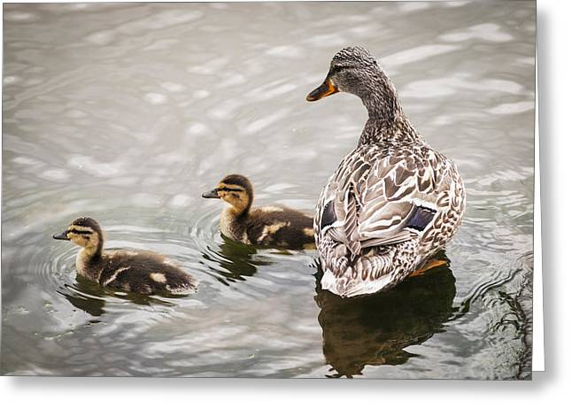 Oregon Ducks Greeting Cards - A Mother Mallard Guards Her Ducklings Greeting Card by Robert L. Potts