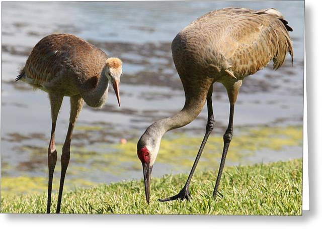 Sandhill Crane Chicks Greeting Cards - A Mothers Lesson Greeting Card by Carol Groenen