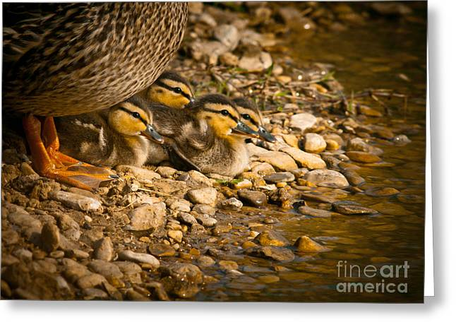 Ducklings Greeting Cards - A Mothers Love Greeting Card by Robert Frederick