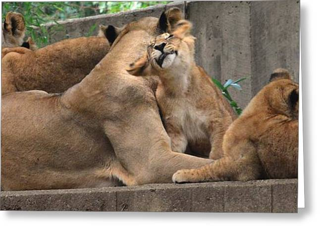Lioness Greeting Cards - A Mothers Touch  Greeting Card by Christie  Wilson