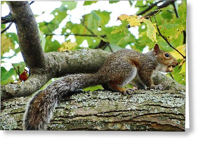 Fox Squirrel Mixed Media Greeting Cards - A Mouthful Greeting Card by Sherry Brant