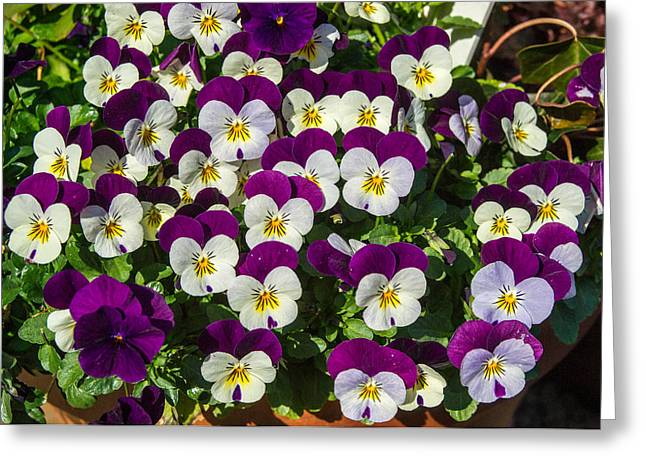 Multitude Greeting Cards - A Multitude of Pansies Greeting Card by Douglas Barnett