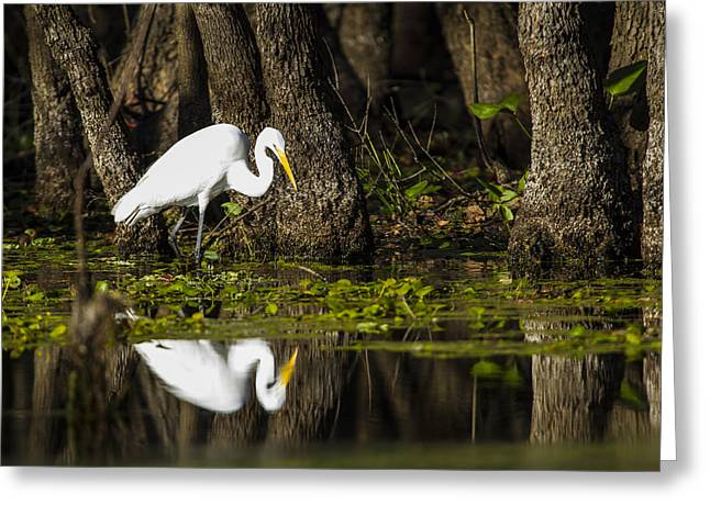 White Bird Greeting Cards - A narcissistic Great Egret  Greeting Card by Ellie Teramoto