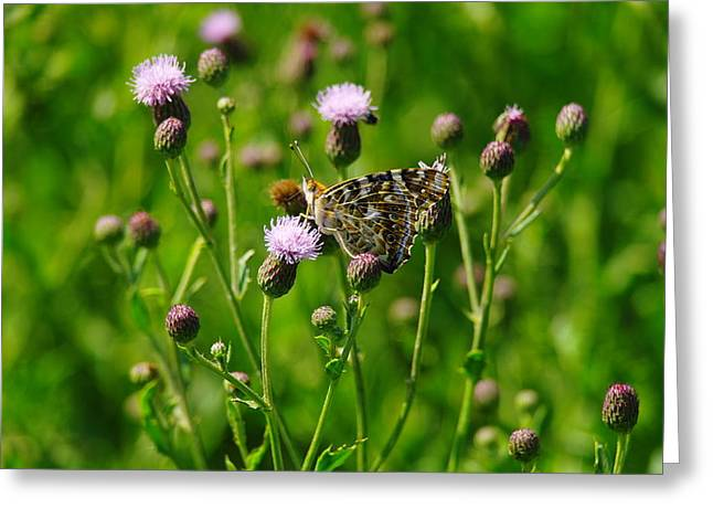 Blue Thistles Greeting Cards - A Painted Lady Greeting Card by Jeff  Swan