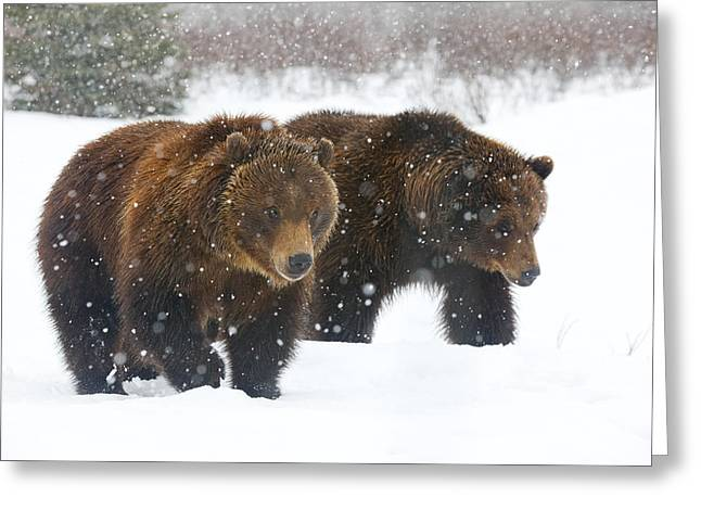 Portage Greeting Cards - A Pair Of Adult Brown Bears Walk Greeting Card by Doug Lindstrand