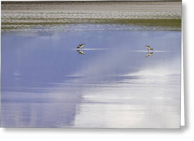 Feeding Birds Greeting Cards - A Pair Of American Avocets Greeting Card by Thomas Young