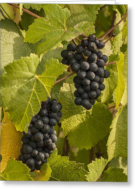 Winemaking Greeting Cards - A Pair of Clusters Greeting Card by Jean Noren