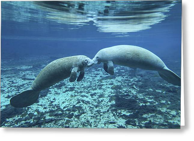 A Pair Of Manatees Appear Greeting Card by Michael Wood