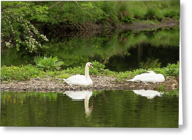 A Pair Of Mute Swans Greeting Card by Ashley Cooper