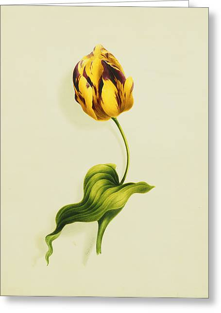 Biology Greeting Cards - A Parrot Tulip Greeting Card by James Holland