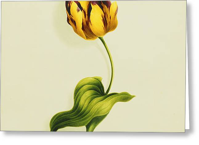 A Parrot Tulip Greeting Card by James Holland