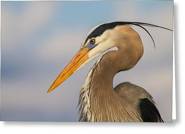 Wild Life Greeting Cards - A Pensive Blue Heron Greeting Card by Andres Leon