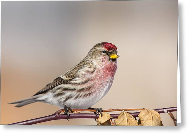 Perky Greeting Cards - A Perky Redpoll Greeting Card by Tim Grams