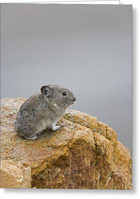 Collar Greeting Cards - A Pika with a View  Greeting Card by Tim Grams
