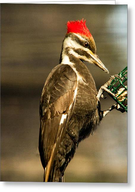 Pileated Greeting Cards - A Pileated with Intent Greeting Card by Douglas Barnett