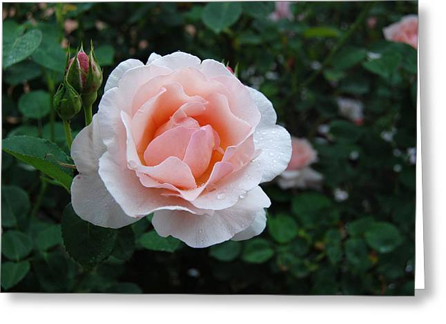 A Pink Rose For You Greeting Card by Eva Kaufman