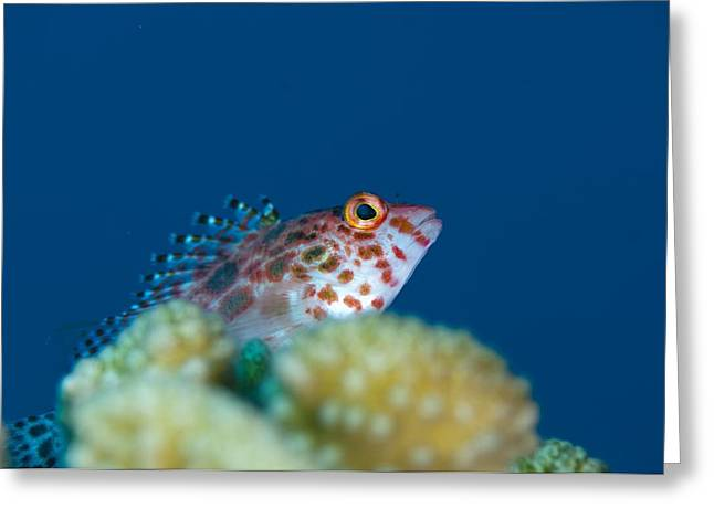 Pixy Greeting Cards - A pixy hawkfish on reef in the Maldives Greeting Card by Science Photo Library