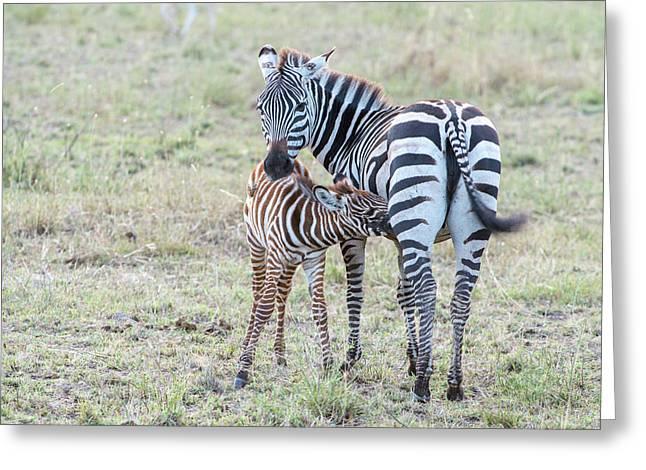 A Plains Zebra, Equus Quagga, Nursing Greeting Card by Tom Murphy
