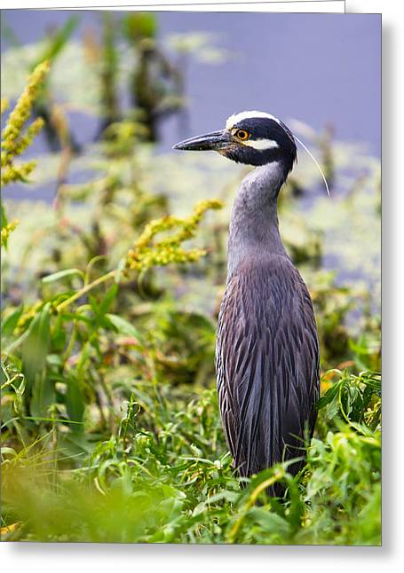 A Portrait Of A Yellow-crowned Night Heron Greeting Card by Ellie Teramoto