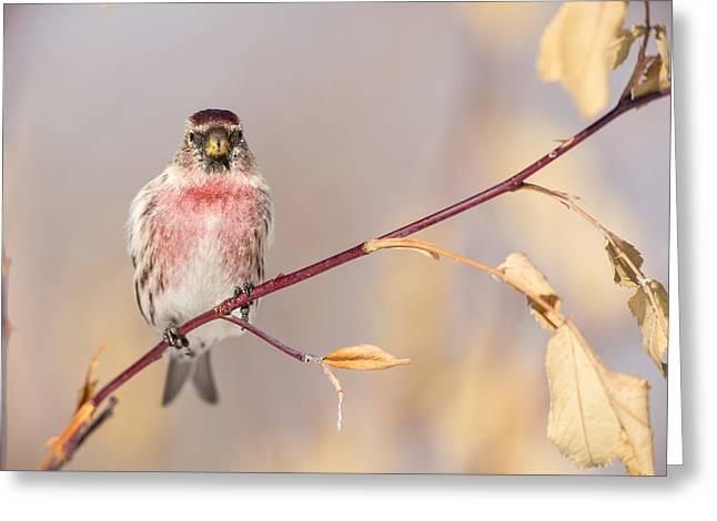 A Pretty Male Redpoll Greeting Card by Tim Grams