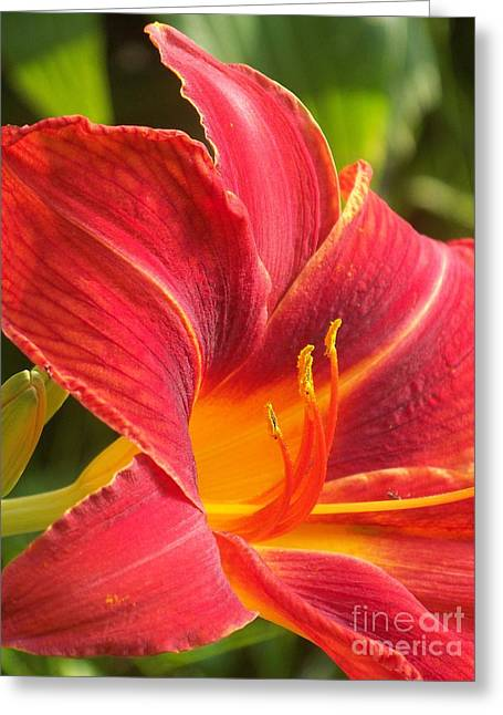 Eunice Miller Greeting Cards - A Pretty Red Daylily Greeting Card by Eunice Miller