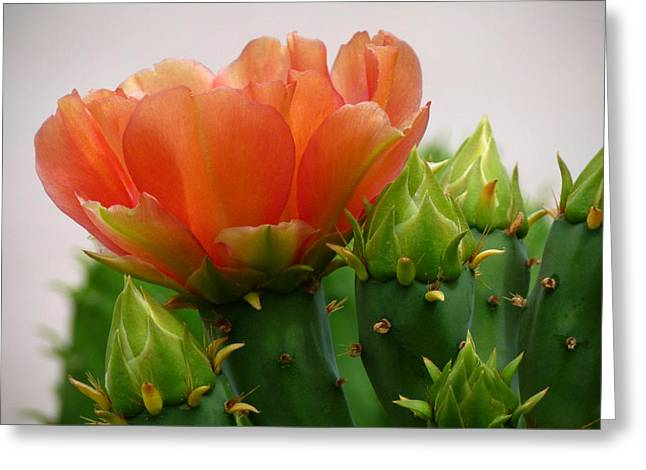 Cactus Southwest Cactus Flower Orange Wildflowers Nature Arizona Greeting Cards - A Profile in Orange Greeting Card by Cindy McDaniel