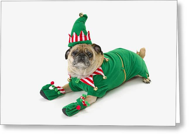 Festivities Greeting Cards - A Pug In A Christmas Elf Costumest Greeting Card by Corey Hochachka