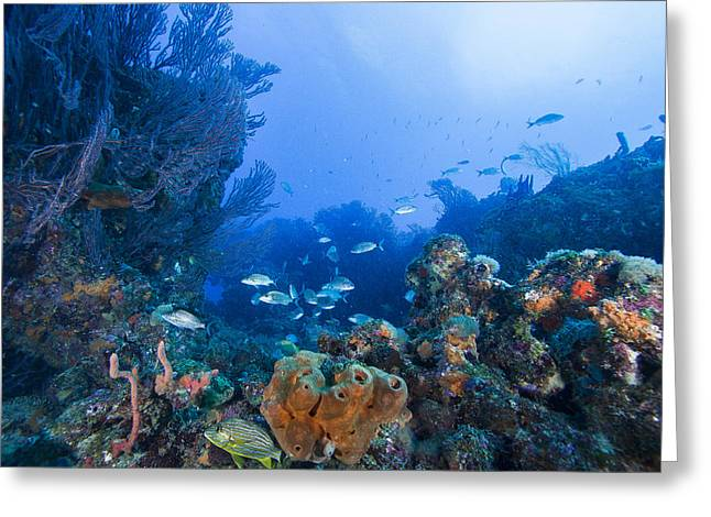 Grunts Greeting Cards - A Quiet Underwater Day Greeting Card by Sandra Edwards
