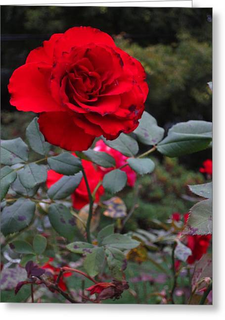 Guy Ricketts Photography Greeting Cards - A Red Flower Greeting Card by Guy Ricketts