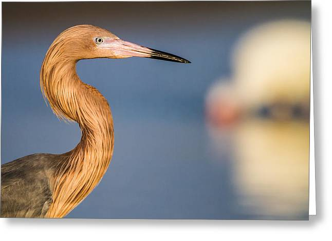 Wetland Greeting Cards - A reddish Egret Profile Greeting Card by Andres Leon