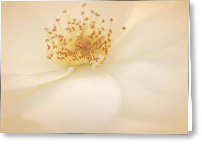 White Roses Greeting Cards - A Rose For Peace Greeting Card by  The Art Of Marilyn Ridoutt-Greene