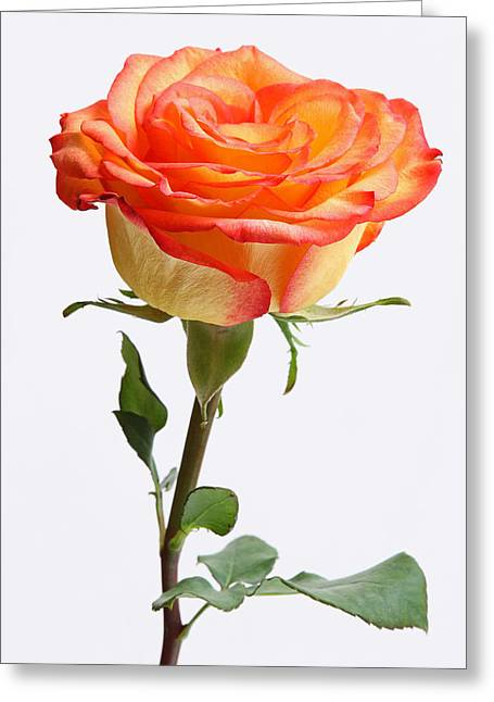 Stein Greeting Cards - A rose is a rose is a rose Greeting Card by Juergen Roth