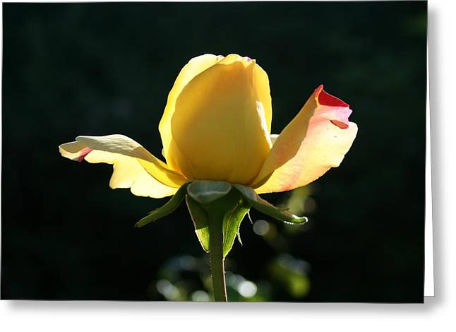 Stein Greeting Cards - A rose is a rose is a rose Greeting Card by Nigel Radcliffe